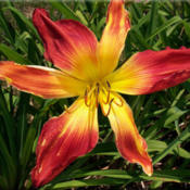 Photo Courtesy of Bluegrass Daylily Gardens. Used with