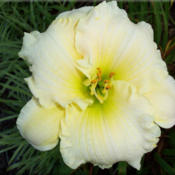 Photo Courtesy of Bluegrass Daylily Gardens. Used with Permission