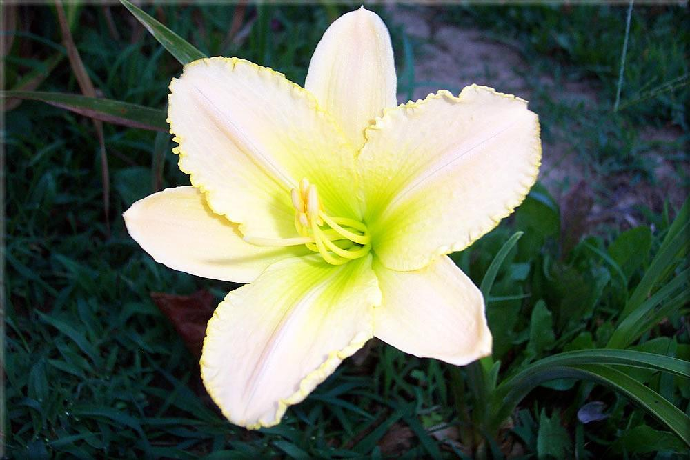 Photo of Daylily (Hemerocallis 'Heavenly Companion') uploaded by Joy