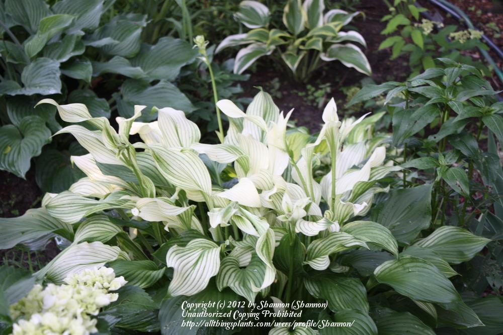 Photo Of The Entire Plant Of Hosta White Feather Posted By Shannon