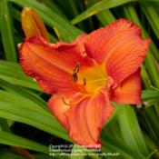 Location: Ithaca, NYDate: 2008-07-30Hemerocallis: Hot Ember