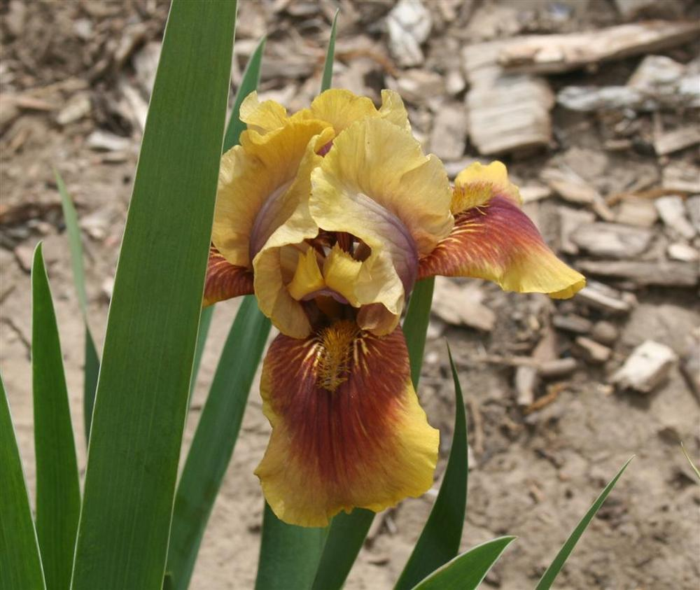 Photo of the bloom of Intermediate Bearded Iris (Iris \'Oklahoma ...