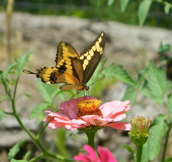 Giant Swallowtail Butterflies and Your Citrus Trees - Garden org