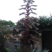 Location: Southwest FloridaDate: June 2012plant with long bloom spike; appr. 10 ft tall