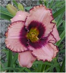 Photo of Daylily (Hemerocallis 'Daring Deception') uploaded by Joy