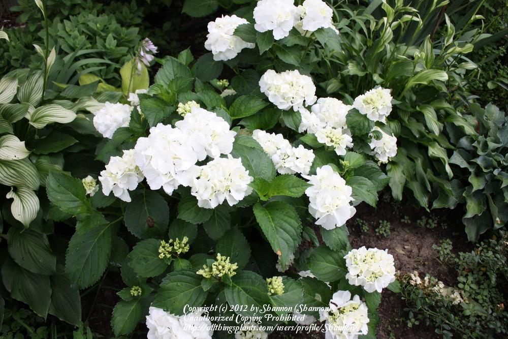 photo of the entire plant of hydrangea hydrangea. Black Bedroom Furniture Sets. Home Design Ideas