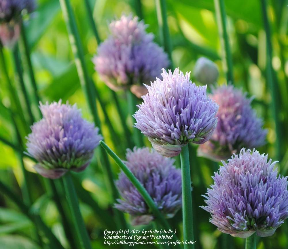 Photo of Chives (Allium schoenoprasum) uploaded by chelle