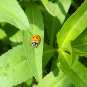 Location: Northeastern, TexasDate: 2012-04-15Tagetes lucida attracts beneficial ladybugs