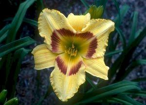 Photo of Daylily (Hemerocallis 'King George') uploaded by Joy