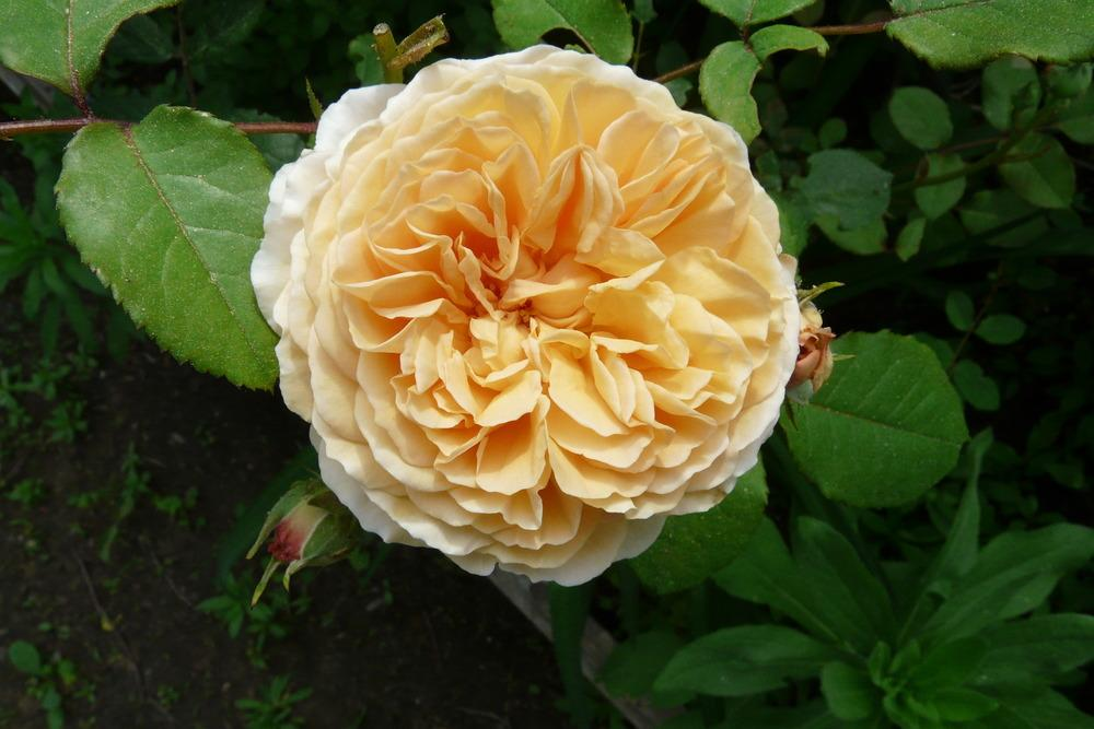 Photo of Rose (Rosa 'Crown Princess Margareta') uploaded by kassiap