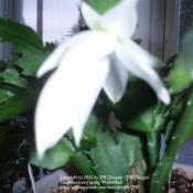 Location: JBsPlants at Roblyn Farm, New JerseyDate: 2011-11-10White Christmas
