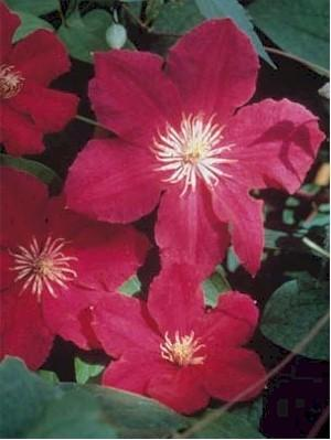 Photo of Clematis 'Sunset' uploaded by Joy