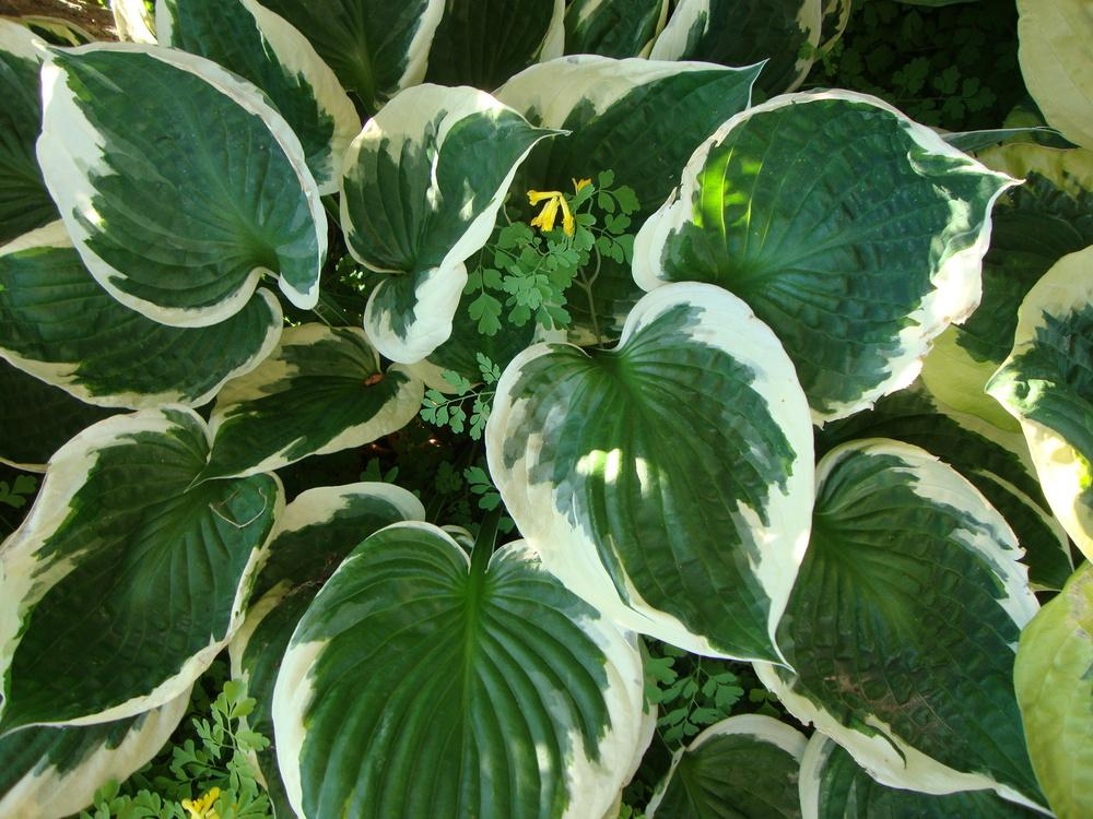 Photo of Hosta 'Patriot' uploaded by Paul2032