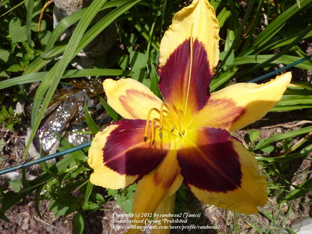 Photo of Daylily (Hemerocallis 'Indian Sky') uploaded by sandnsea2