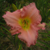 Photo Courtesy of Funderburk Daylilies. Used with Permi