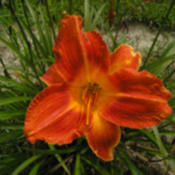 Photo Courtesy of Funderburk Daylilies. Used with Permission.