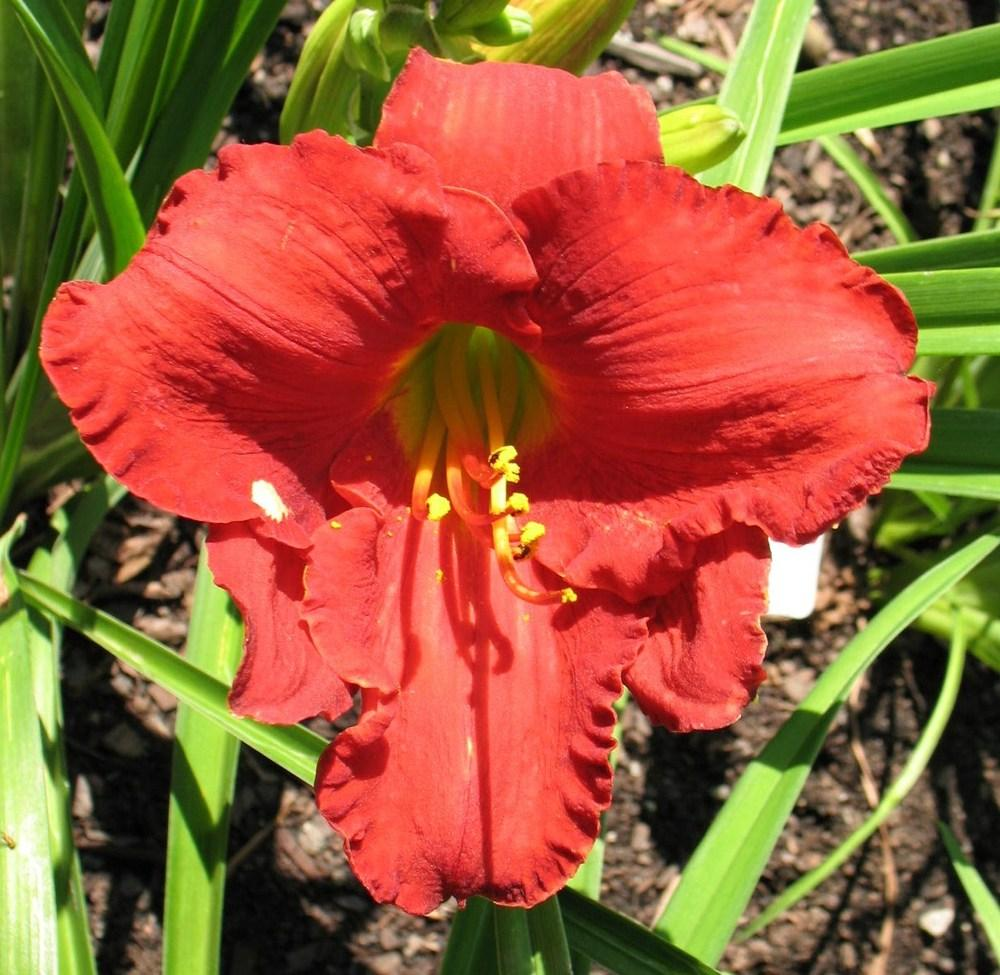 Photo of Daylily (Hemerocallis 'Ruby Grandeur') uploaded by LALAMBCHOP