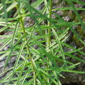 Location: Northeastern, TexasDate: 2012-05-03whorled leaves