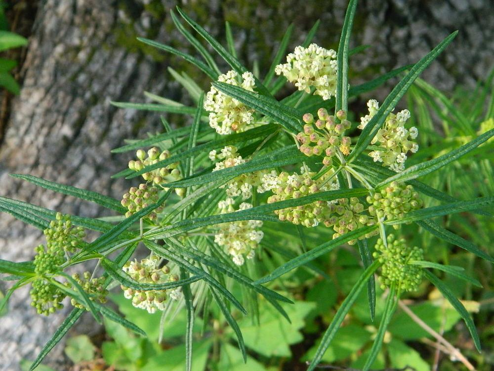 Photo of Whorled Milkweed (Asclepias verticillata) uploaded by wildflowers
