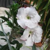 Location: Southwest FloridaDate: June 2012a hint of pink rims this mostly white flower.