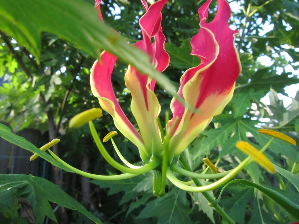 Photo of Gloriosa Lily (Gloriosa superba) uploaded by piksihk