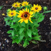 Location: Bloomington, IllinoisDate: 2012-06-16Largest blooms I've seen on a rudbeckia!