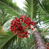 Location: Bradenton, FloridaDate: 2012-03-25Christmas Palm