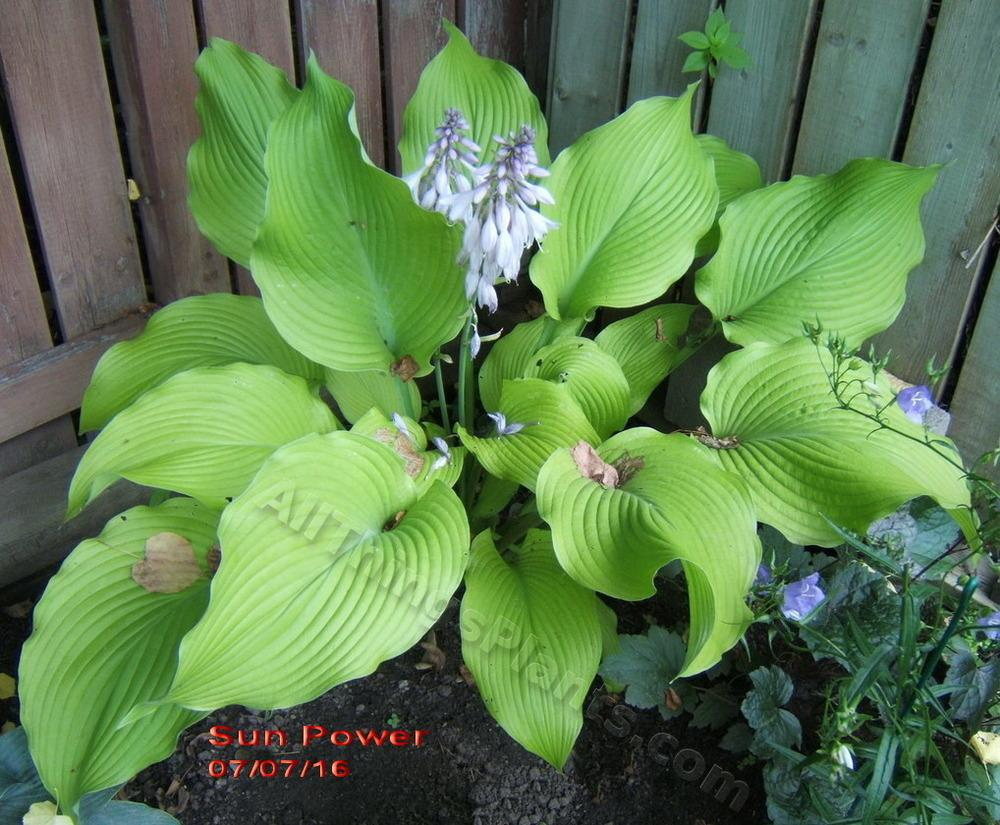 Photo Of The Bloom Of Hosta Sun Power Posted By Violaann Gardenorg
