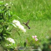 Location: Daytona Beach, FloridaDate: 2012-06-18 White blooming variety with a female Ruby-throated Hummingbird en