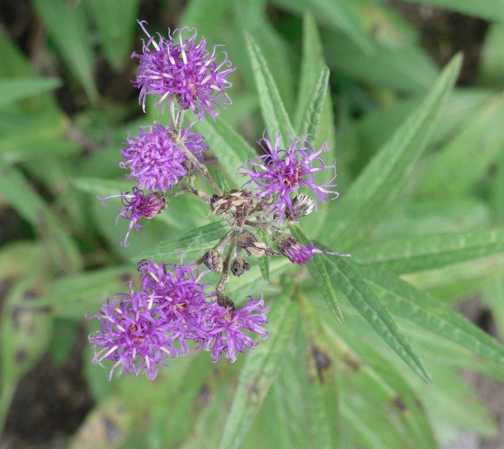 Plant Id Forum  Which Ironweed  I Give Up
