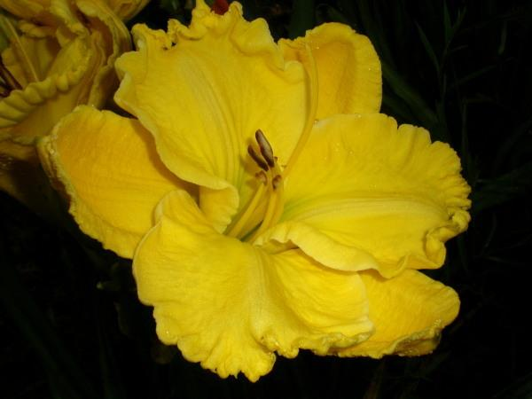 Photo of Daylily (Hemerocallis 'Ruffled Perfection') uploaded by Joy