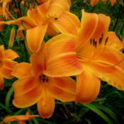 Photo Courtesy of A-1 Daylilies. Used with Permission.