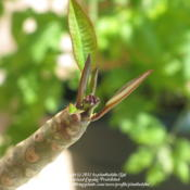 Location: Daytona Beach, FloridaDate: 2011-04-14 Stem/branch with new leaf growth