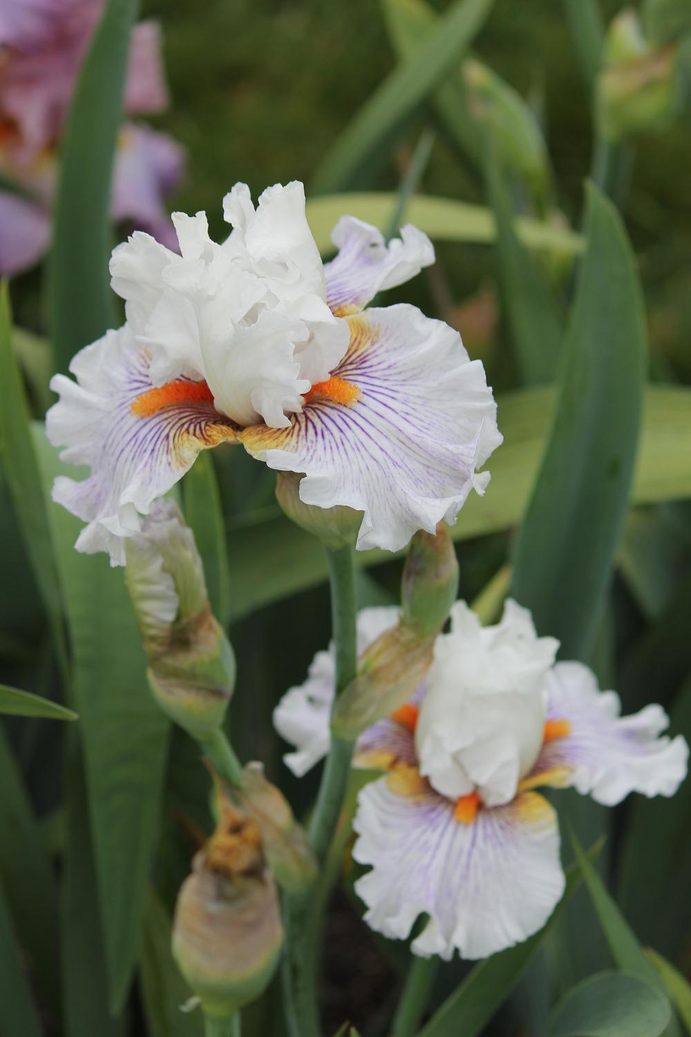 Photo of Tall Bearded Iris (Iris 'Hysteria') uploaded by ARUBA1334