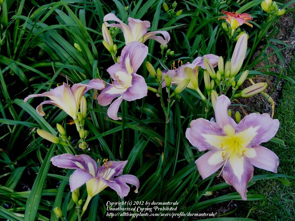 Photo of the bloom of daylily hemerocallis aerial applique