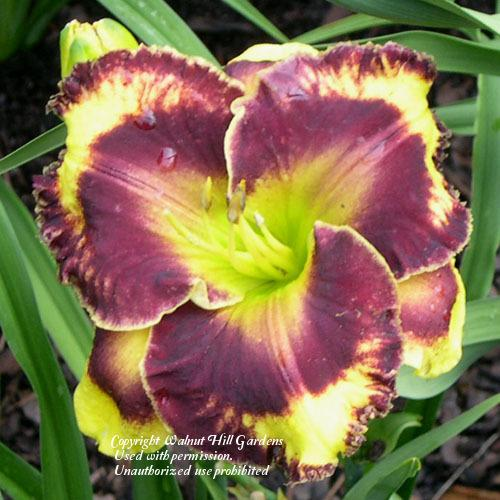 Photo of Daylily (Hemerocallis 'Naboth's Vineyard') uploaded by vic