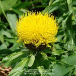Plant id forum yellow flower almost thistle like garden image mightylinksfo
