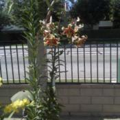 Location: Buena Park, CaliforniaDate: 06/20/2012Blooming on the right