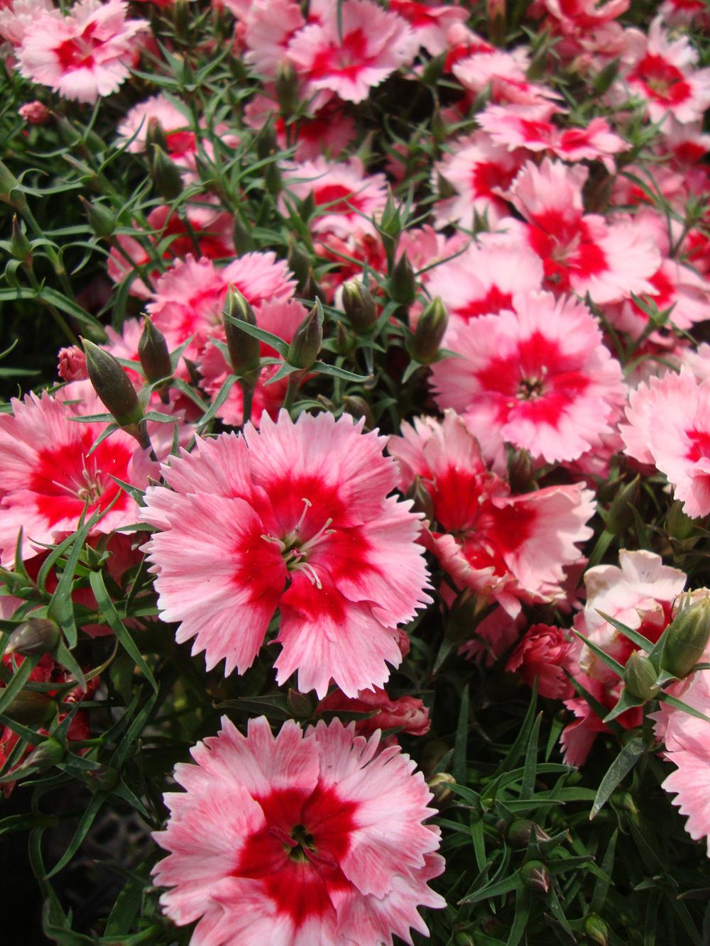 Photo of Dianthus 'Strawberry Ice' uploaded by Paul2032