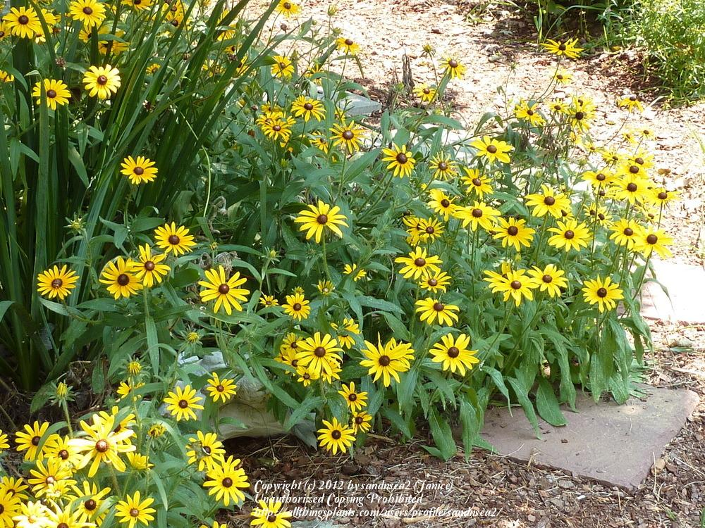 Photo of Black Eyed Susans (Rudbeckia) uploaded by sandnsea2