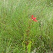 Location: Southwest FloridaDate: June 2012growing wild in the Everglades