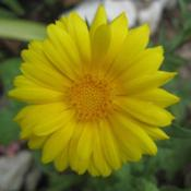 Location: In my front yard in Holladay, UTDate: SummerPot Marigold (Calendula officinalis)
