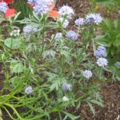 Location: In my front yard in Holladay, UTDate: SummerGilia capitata