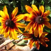 Location: In my front yard in Holladay, UTDate: Late SummerRudbeckia hirta 'CherokeeSunset'