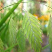 Location: In my back yard in Holladay, UTDate: SummerNorthern Sea Oats (Chasmanthium latifolium), before seeds are rip