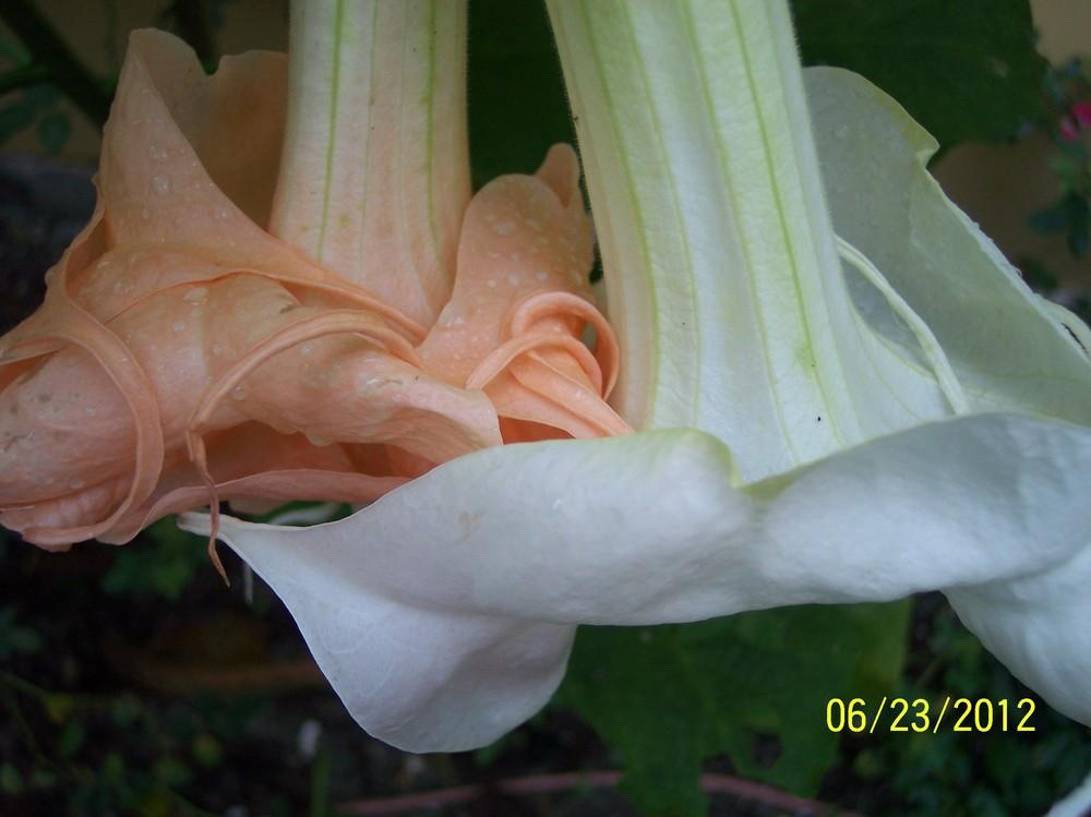Photo of Angel Trumpet (Brugmansia 'New Orleans Lady') uploaded by WilliamByrd