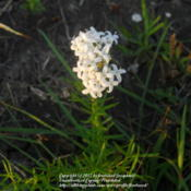 Location: Tandy Hills Prairie, Fort Worth, Texas.Date: 2012-06-22Growing in the prairie.