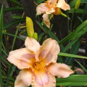 Location: Ithaca, NYDate: 2006-07-17Hemerocallis: Chinese Cloisonne