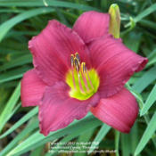 Location: Ithaca, NYDate: 2012-06-23Hemerocallis: Little Business