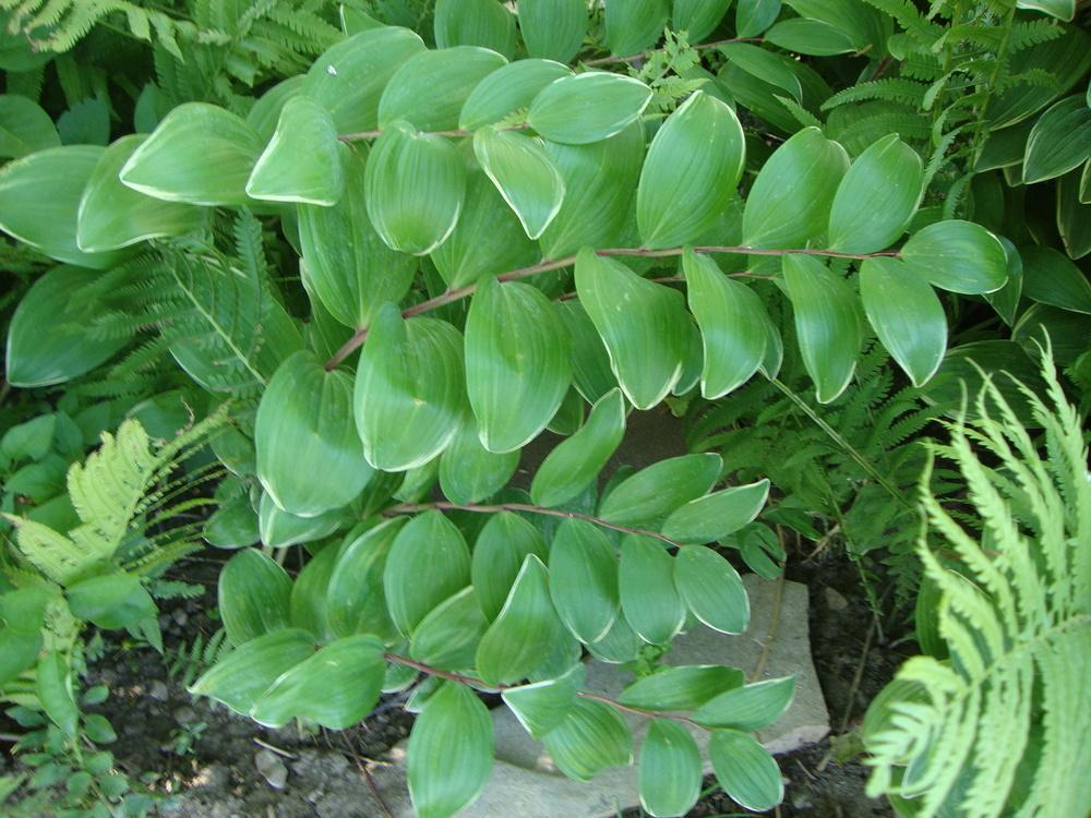 Photo of Solomon's Seal (Polygonatum odoratum var. pluriflorum 'Variegatum') uploaded by Paul2032